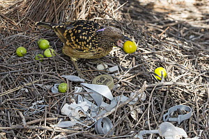 Western Bowerbird (Chlamydera guttata) displaying green fruit with plastic and metal on stage of bower, Alice Springs, Northern Territory, Australia  -  D. Parer & E. Parer-Cook