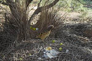 Western Bowerbird (Chlamydera guttata) male on stage of bower decorated with green fruit, plastic and metal, Alice Springs, Northern Territory, Australia  -  D. Parer & E. Parer-Cook