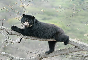 Spectacled Bear (Tremarctos ornatus) female, Chaparri Reserve, Lambayeque Province, Peru  -  Kevin Schafer