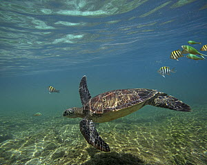 Green Sea Turtle (Chelonia mydas) swimming with a school of butterfly fish, Apo Island, Philippines  -  Tim Fitzharris
