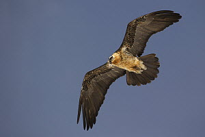 Bearded Vulture (Gypaetus barbatus) flying, Pyrenees, Spain  -  Oliver Richter
