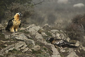 Bearded Vulture (Gypaetus barbatus), Pyrenees, Spain  -  Oliver Richter
