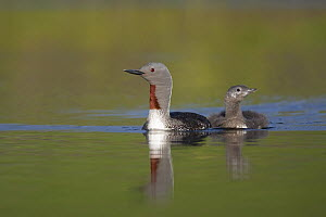 Red-throated Loon (Gavia stellata) swimming with juvenile, Myvatn, Iceland  -  Christoph Robiller