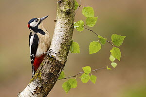 Great Spotted Woodpecker (Dendrocopos major) male, Asturias, Spain  -  Mario Suarez Porras