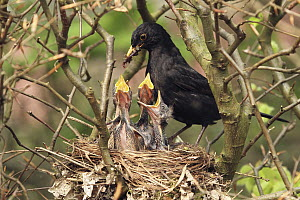Eurasian Blackbird (Turdus merula) father feeding chicks in nest, Lower Saxony, Germany  -  Folkert Christoffers