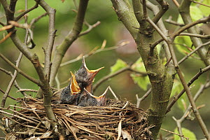 Eurasian Blackbird (Turdus merula) chicks begging for food in nest, Lower Saxony, Germany  -  Folkert Christoffers