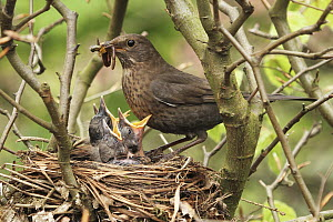 Eurasian Blackbird (Turdus merula) mother feeding chicks in nest, Lower Saxony, Germany  -  Folkert Christoffers