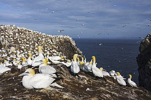 Northern Gannet (Morus bassanus) colony, Scotland, United Kingdom  -  Mario Suarez Porras
