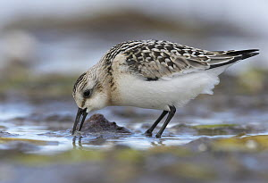Sanderling (Calidris alba) foraging, Mecklenburg-Vorpommern, Germany - Chris Romeiks