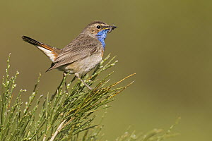 White-spotted Bluethroat (Luscinia svecica cyanecula) male carrying food, Asturias, Spain  -  Mario Suarez Porras