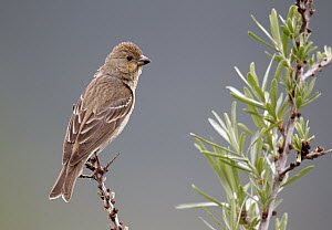 Common Rosefinch (Carpodacus erythrinus) male, Mecklenburg-Vorpommern, Germany - Chris Romeiks