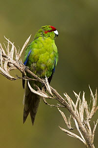 Red-fronted Parakeet (Cyanoramphus novaezelandiae), New Zealand - Eric Sohn Joo Tan