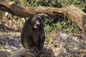 Stump-tailed Macaque (Macaca arctoides) male with open mouth in threat display, Thailand  -  Roland Seitre