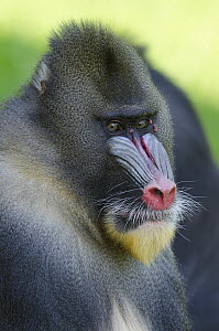 Mandrill (Mandrillus sphinx) male, native to central Africa  -  Roland Seitre