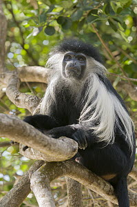 Peters's Angola Colobus (Colobus angolensis palliatus) in tree, native to Africa - Roland Seitre