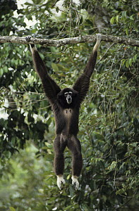 White-handed Gibbon (Hylobates lar) calling while hanging from branch, native to Asia  -  Roland Seitre