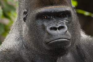 Western Lowland Gorilla (Gorilla gorilla gorilla) silverback male, native to central Africa  -  Roland Seitre