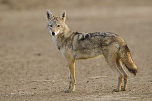 Golden Jackal (Canis aureus), Djoudj National Bird Sanctuary, Senegal  -  Roland Seitre