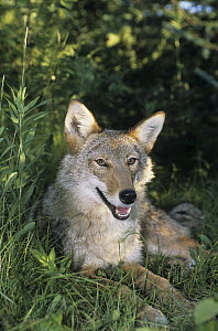 Coyote (Canis latrans) lying in grass, native to North America  -  Roland Seitre