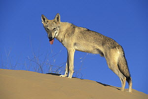 Arabian Wolf (Canis lupus arabs) on sand dune, native to Middle East  -  Roland Seitre