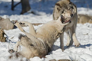 Eastern Wolf (Canis lupus) showing submissive behavior to dominant individual, Omega Park, Montebello, Quebec, Canada - Roland Seitre