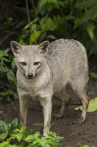 Crab-eating Fox (Cerdocyon thous), native to South America  -  Roland Seitre