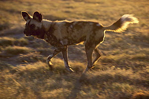 African Wild Dog (Lycaon pictus) running, native to Africa - Roland Seitre