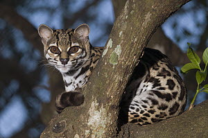 Margay (Leopardus wiedii) in tree, native to Central and South America  -  Roland Seitre