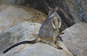 Allied Rock Wallaby (Petrogale assimilis) mother with joey, Magnetic Island, Queensland, Australia - Martin Willis