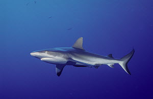 White-tip Reef Shark (Triaenodon obesus), Queensland, Australia  -  Fred Bavendam