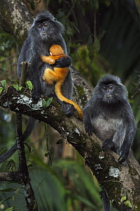 Silvered Leaf Monkey (Trachypithecus cristatus) female holding week old baby after it was handled roughly by another female, Bako National Park, Sarawak, Borneo, Malaysia - Anup Shah
