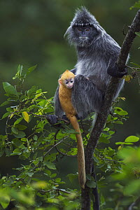 Silvered Leaf Monkey (Trachypithecus cristatus) mother with week old baby in tree, Bako National Park, Sarawak, Borneo, Malaysia - Anup Shah