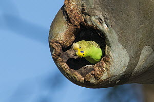 Budgerigar (Melopsittacus undulatus) female in nest cavity, South Australia, Australia - D. Parer & E. Parer-Cook