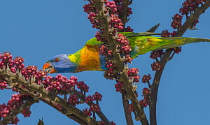 Rainbow Lorikeet (Trichoglossus haematodus) feeding on Queensland Umbrella Tree (Schefflera sp) flowers, Victoria, Australia - D. Parer & E. Parer-Cook