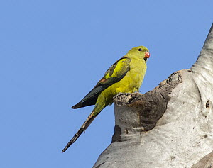 Regent Parrot (Polytelis anthopeplus) female at nest cavity, Hattah-Kulkyne National Park, Victoria, Australia - D. Parer & E. Parer-Cook