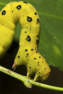 Four O'clock Moth (Dysphania fenestrata) caterpillar on a leaf, Queensland, Australia  -  Sean Crane
