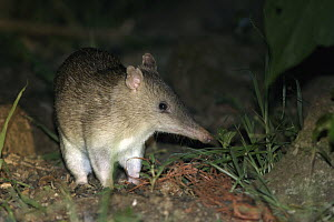 Long-nosed Bandicoot (Perameles nasuta), Youngaburra, Queensland, Australia  -  Sean Crane
