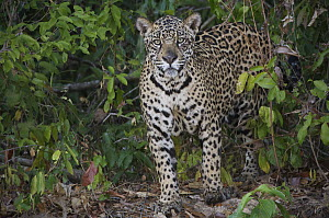 Jaguar (Panthera onca) standing on a river bank, Pantanal, Brazil - Sean Crane