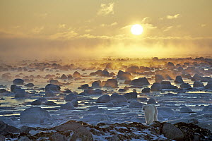 Polar Bear (Ursus maritimus) at sunrise, Hudson Bay, Seal River, Manitoba, Canada  -  Sean Crane