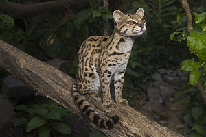 Margay (Leopardus wiedii), native to Central and South America  -  Roland Seitre