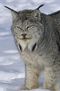 Canada Lynx (Lynx canadensis) in snow, native to North America  -  Roland Seitre