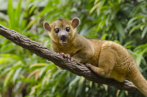 Kinkajou (Potos flavus) in tree, native to South America - Roland Seitre
