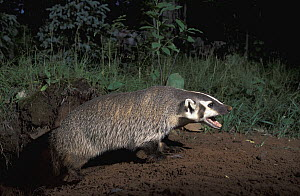 American Badger (Taxidea taxus) at burrow, native to North America  -  Roland Seitre