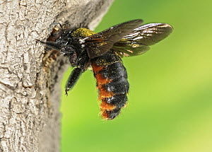 Carpenter Bee (Xylocopa augusti) entering nest in tree, Buenos Aires, Argentina - Agustin Esmoris
