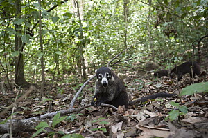 White-nosed Coati (Nasua narica) group foraging on forest floor, Corcovado National Park, Costa Rica  -  Sean Crane