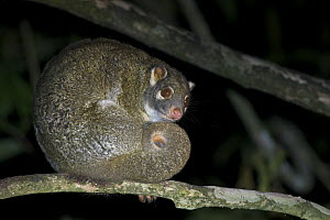 Green Ringtail Possum (Pseudochirops archeri), Youngaburra, Atherton Tablelands, Queensland, Australia  -  Sean Crane