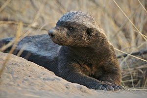 Honey Badger (Mellivora capensis) resting, Kalahari Game Reserve, Botswana  -  Sean Crane