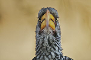 Southern Yellow-billed Hornbill (Tockus leucomelas) looking at camera, Kalahari Game Reserve, Botswana  -  Sean Crane