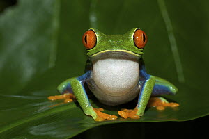 Red-eyed Tree Frog (Agalychnis callidryas) calling, Tortuguero National Park, Costa Rica - Sean Crane