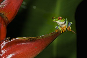 Red-eyed Tree Frog (Agalychnis callidryas) on heliconia, Tortuguero National Park, Costa Rica  -  Sean Crane